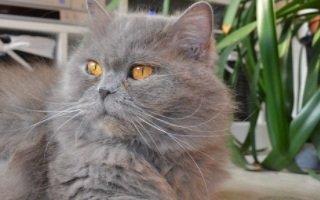 razze di gatto British Longhair