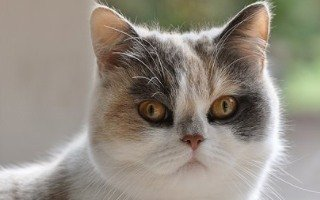 razze di gatto British Shorthair