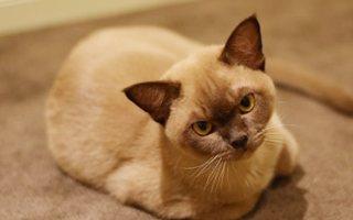 razze di gatto burmese