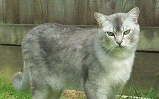 razze di gatto Burmilla