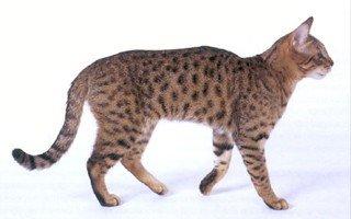 razze di gatto California Spangled