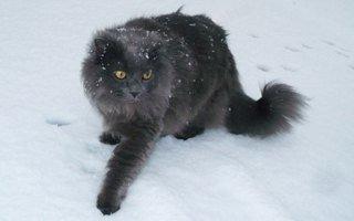 razze di gatto Chantilly-Tiffany