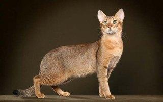 razze di gatto Chausie