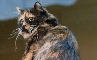 Razze di gatto Cymric