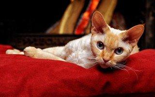 Razze di gatto Devon Rex
