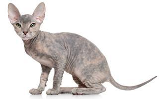 razze di gatto Donskoy