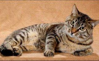 Dragon Li Cat