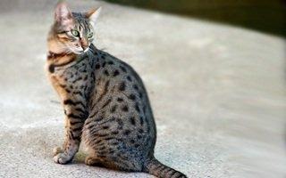 razze di gatto Mau egiziano
