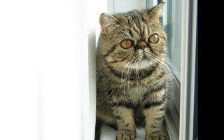 razze di gatto Exotic Shorthair