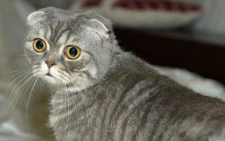 razze di gatto Foldex
