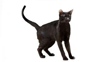 razze di gatto Brown Havana