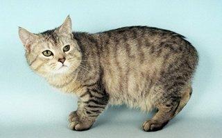 razze di gatto Isola di Man