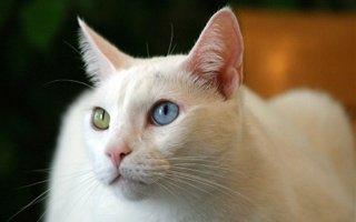 razze di gatto Khao Manee