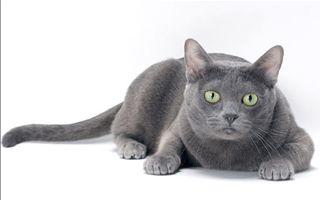 razze di gatto Korat