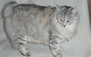 razze di gatto Kurilian Bobtail