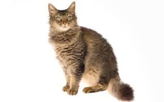 razze di gatto LaPerm