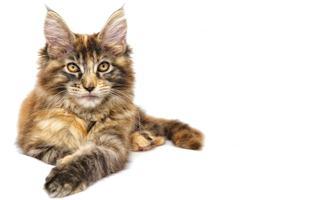 razze di gatto Maine Coon