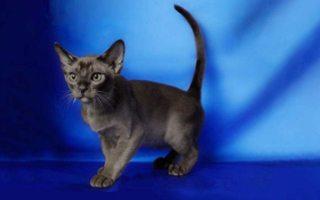 razze di gatto Mandalay
