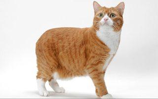 Razze di gatto Manx