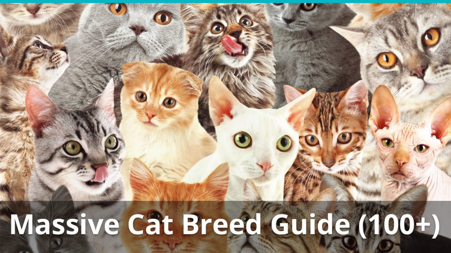 massive cat breed guide