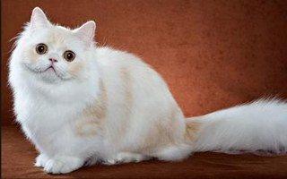 gatto Minuetto Napoleone