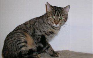gatto Mojave