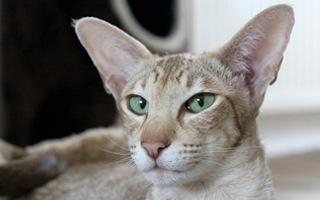 gatto orientale pelo corto