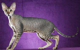 peterbald gatto senza peli