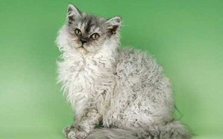 Poddlecat Cat