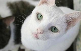 Russian White Cat