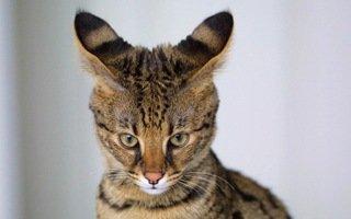 savannah servalo domestico