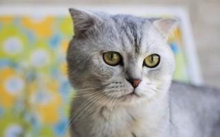 gatto orecchie piegate