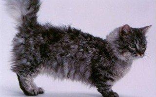 Skookum Cat