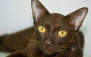 Suphalak Cat