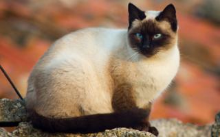 razze di gatto tailandese