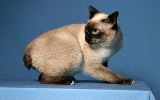 Toybob cat