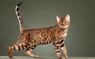 Toyger Cat