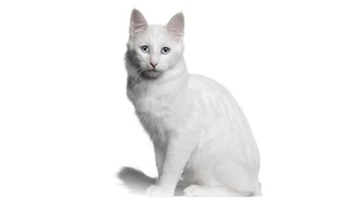 e83ec04c076562 One of the few ancient natural feline breeds of our world is the Turkish  Angora
