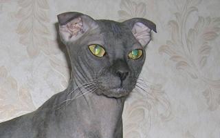 Ukranian Levkoy Cat