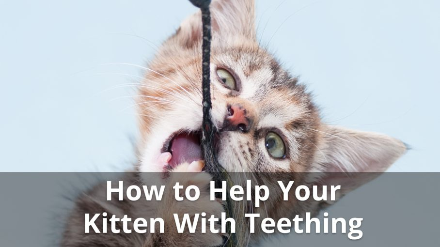 Kitten Teething When Do They Start And Stop And How To Help Them