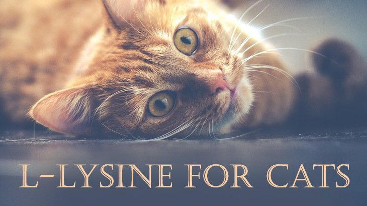 Human L Lysine For Cats