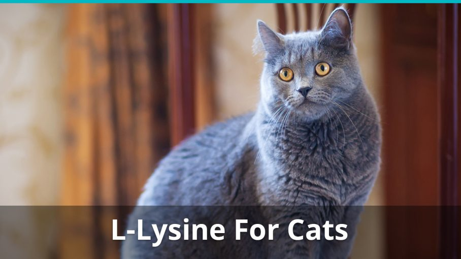 The Best L-Lysine For Cats | Is It Safe For Cats? Plus A Review