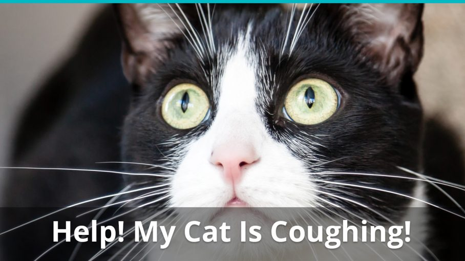 what to do if cat coughing