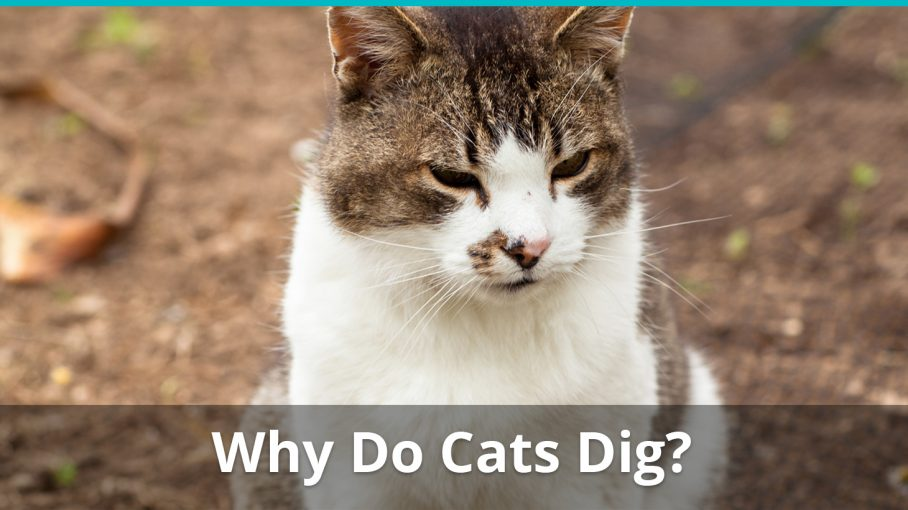 why do cats dig