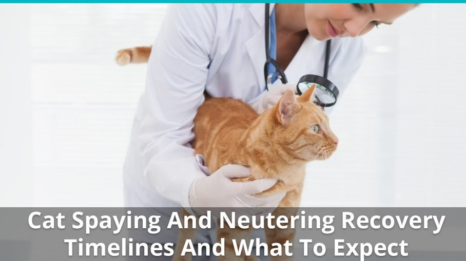 cat spaying neutering recovery timelines