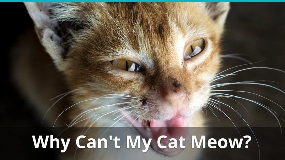 why cant my cat meow