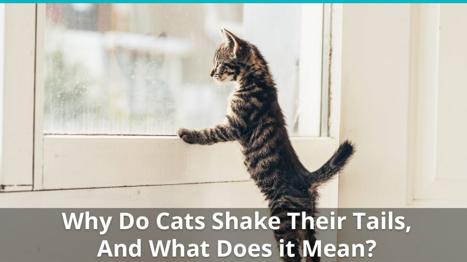 why do cats shake vibrate tail