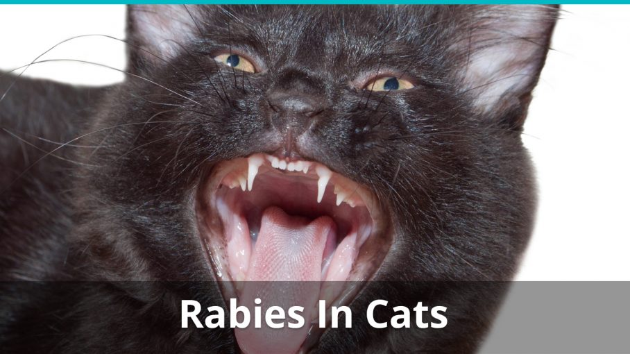 cat rabies treatment symptoms