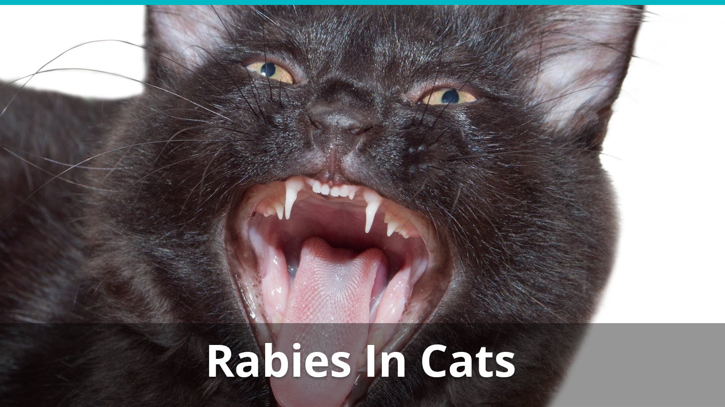 Rabies in cats: symptoms, causes, course, prognosis 61