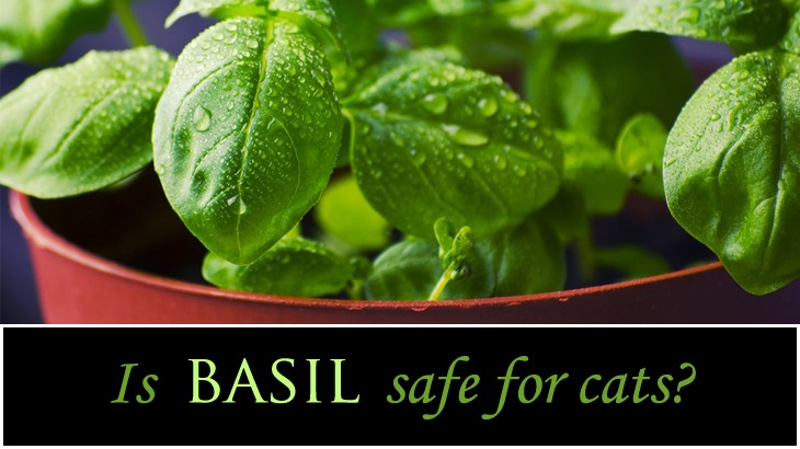 can cats eat basil is it safe catological. Black Bedroom Furniture Sets. Home Design Ideas